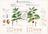 bsoc_kaffepflanzenarten_